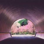 滋賀の桜の万華鏡が綺麗!日本でここだけのトンネルと桜のコラボはいつ見られる?