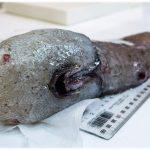 「顔のない魚」をオーストラリアで発見!その姿形は?ネットでも話題騒然!